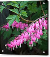Bleeding Hearts Acrylic Print