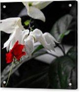 Bleeding Heartwine Flower Acrylic Print