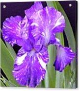 Blended Beauty - Bearded Iris Acrylic Print