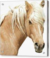 Blonde Stallion Acrylic Print