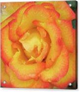 Blood Orange Rose Acrylic Print