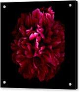 Blood Red Peony Acrylic Print