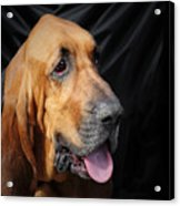 Bloodhound - Governed By A World Of Scents Acrylic Print by Christine Till