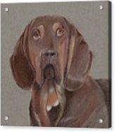 Bloodhound Acrylic Print