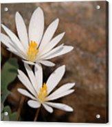 Bloodroot Flowers Acrylic Print