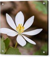 Bloodroot Wildflower Acrylic Print
