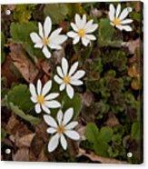 Bloodroot Wildflowers #1203 Acrylic Print