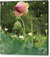 Bloom Among The Pods Acrylic Print