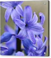 Bloomin Blue Acrylic Print