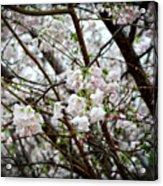 Blooming Apple Blossoms Acrylic Print by Eva Thomas