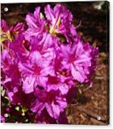Blooming Azaleas Acrylic Print