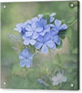 Blooming Blues Acrylic Print
