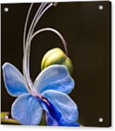 Blooming Butterfly Acrylic Print
