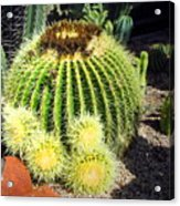 Blooming Cactus Two Acrylic Print