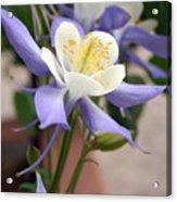 Blooming Columbine Acrylic Print