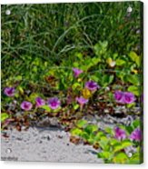 Blooming Cross Vines Along The Beach Acrylic Print
