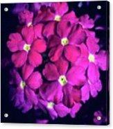 Blooming Crush Acrylic Print