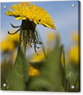 Blooming Dandelion Flower Acrylic Print