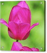 Blooming Dark Pink Tulip Flower Blossom In A Garden Acrylic Print