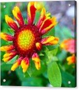 Blooming Gaillardia Acrylic Print