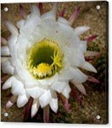 Blooming Hedgehog Cactus Acrylic Print