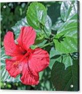 Blooming Hibiscus Acrylic Print