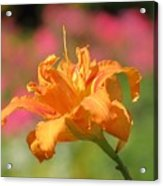 Blooming In August Acrylic Print
