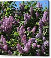 Blooming Lilacs Acrylic Print
