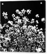 Blooming Magnolia Tree Acrylic Print