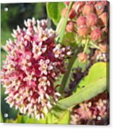 Blooming Milkweed Flowers Acrylic Print