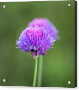 Blooming Onion Chives Acrylic Print