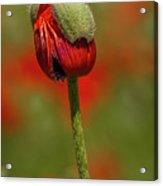 Blooming Orange Poppy Acrylic Print