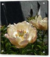 Blooming Peonies Acrylic Print