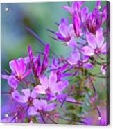 Blooming Phlox Acrylic Print