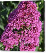 Blooming Pink Phlox Flowers In A Spring Garden Acrylic Print