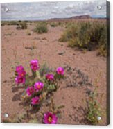 Blooming Prickley Pear Acrylic Print