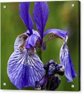 Blooming Purple Iris Acrylic Print