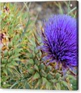 Blooming Purple Teasel Acrylic Print