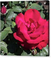 Blooming Rose With New Rose In Garden Acrylic Print
