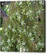 Blooming Succulent Plant. Big And Beautiful Acrylic Print