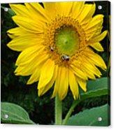 Blooming Sunflower Closeup Acrylic Print