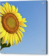 Blooming Sunflower In The Blue Sky Background Acrylic Print by Tosporn Preede