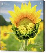 Blooming Sunflower Acrylic Print