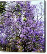 Blooming Tree With Purple Flowers Acrylic Print