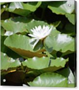 Blooming Waterlily  Acrylic Print