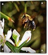 Blossom Hopping 002 Acrylic Print
