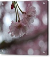 Blossom In Pink Acrylic Print
