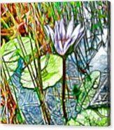 Blossom Lotus Flower In Pond Acrylic Print