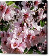 Blossoming Almond Branch Acrylic Print