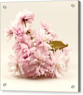 Blossoming Cherry Twig Acrylic Print